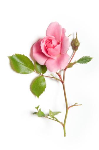 Significado del color de las rosas colorexpression - Significado de los colores de las rosas ...